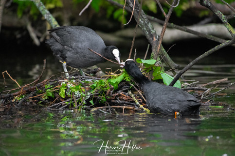 COOT WING_0071.jpg