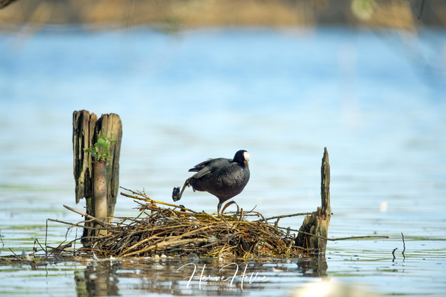 COOT WING_0083.jpg