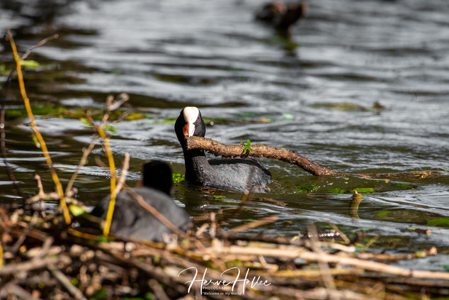 COOT WING_0029.jpg