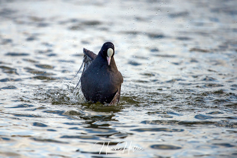 COOT WING_0045