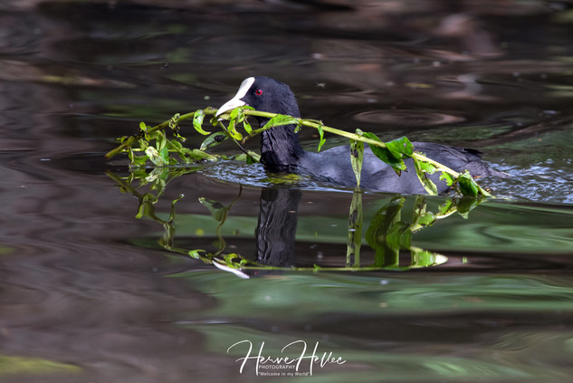 COOT WING_0157.jpg