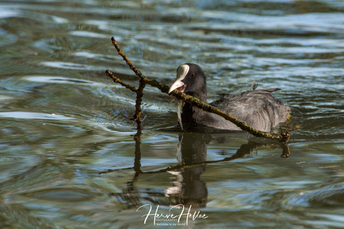 COOT WING_0021.jpg