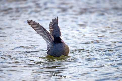 COOT WING_0050