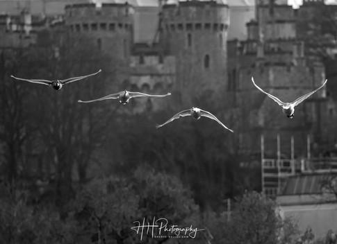 Swans et Castle WIND_0038