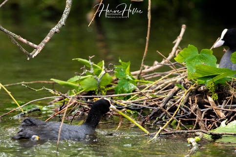 COOT WING_0091.jpg