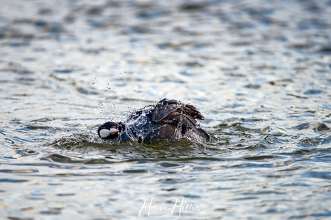 COOT WING_0049
