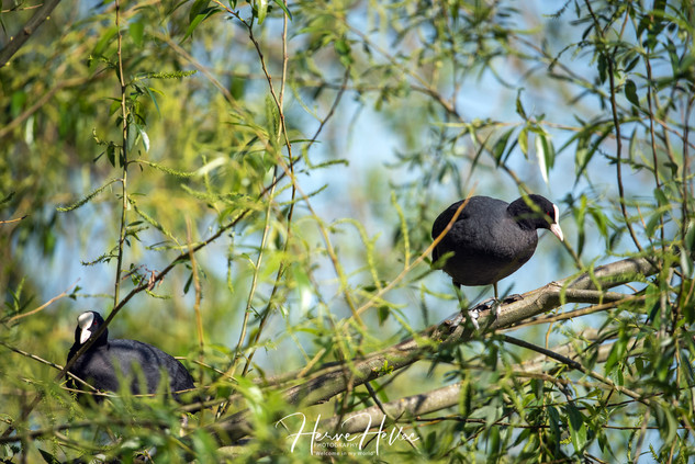 COOT WING_0085