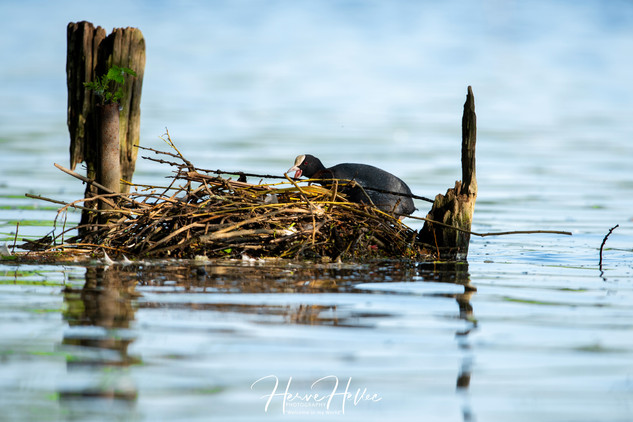 COOT WING_0078.jpg