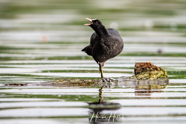 COOT WING_0011.jpg