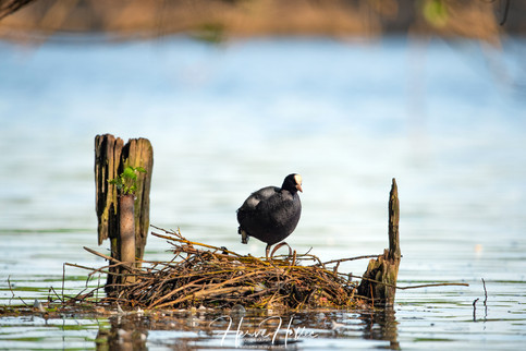 COOT WING_0082.jpg
