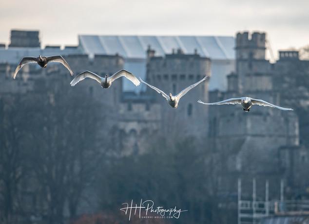 Swans et Castle WIND_0011