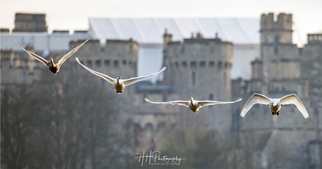 Swans et Castle WIND_0009