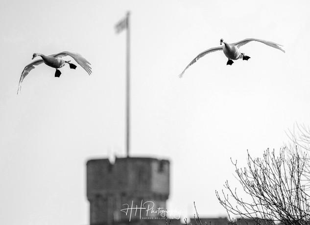 Swans et Castle WIND_0037