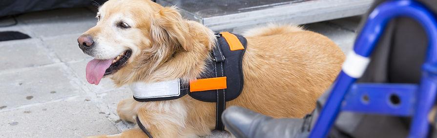 Golden Retriever Service Dog.jpeg