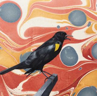 Yellow Shouldered Black Bird