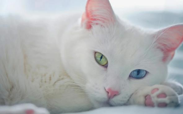 Кошки-талисманы: какую породу завести?