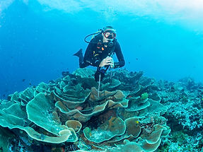 Site Author over Rose Coral - Wakatobi I