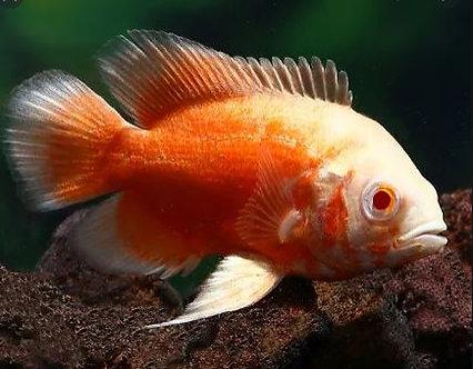 Oscar  Albino Red Rubi (8-10cm)