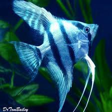 Acara Bandeira Zebra Blue (P)