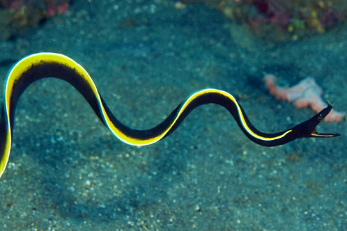 Ribbon Eel Black (Juvenil)