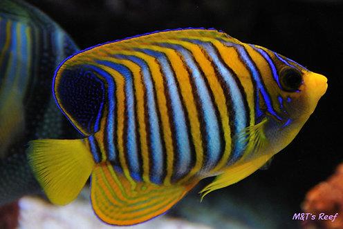 Regal Indian Ocean Anjo