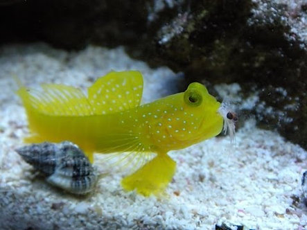 Watchman Yellow Goby