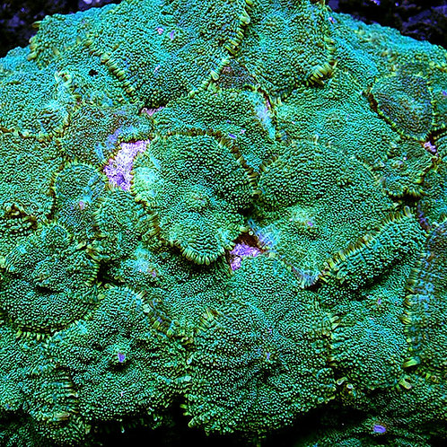 Mushroom Green
