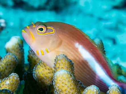 Arc eyed Hawkfish