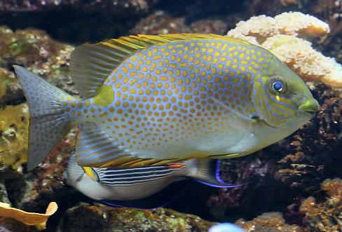 Orangespot Rabbitfish