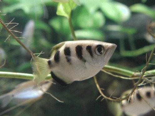 Peixe Arqueiro