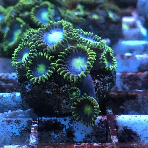 Zoanthus Baby black Blue