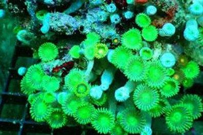 Zoanthus Full Green