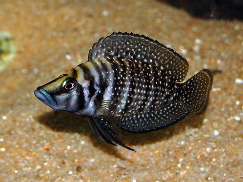 Lamprologus Calvus Black