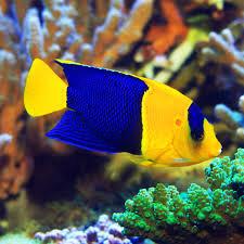 Centropygye Bicolor Angelfish