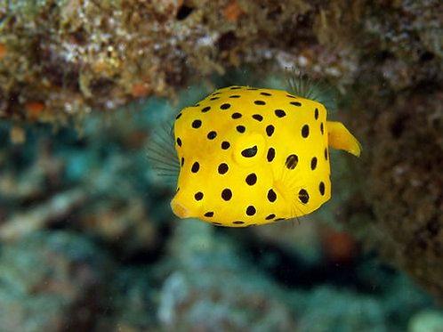 Boxfish Yellow Black Spotted