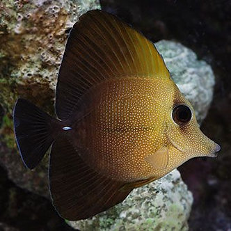 Scopas Tang (Smd)