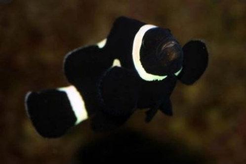 Ocellaris  Misbar Black  (Smd)