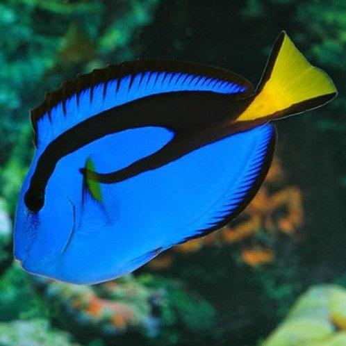 Blue Tang  Hepatus (Md)