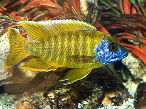 Aulonocara Maleri Yellow