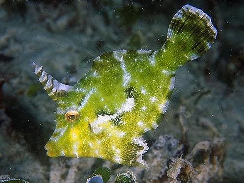 Filefish Seagrass