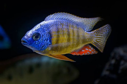 Taiwan Reef (protomelas fenestratus)