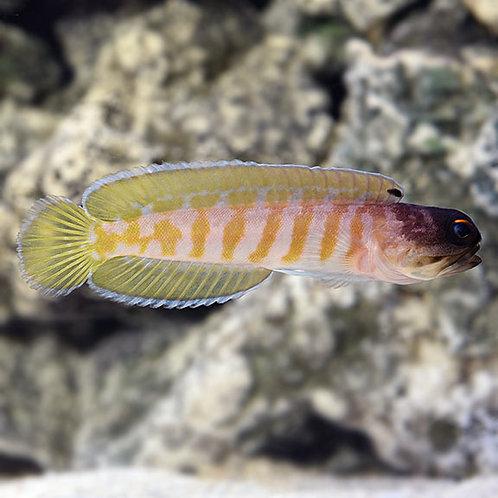 Goby Randalli Jawfish