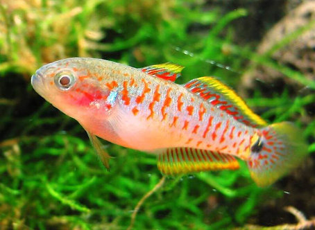 Goby Stirped Gudgeon