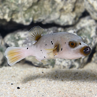 Black Spotted Dogface Puffer (Md)