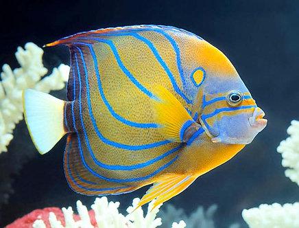 Annularis Angelfish