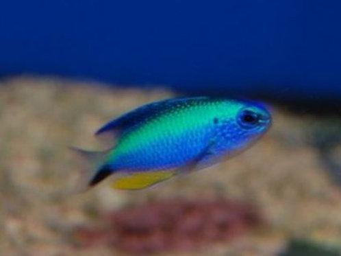 Donzela Neon Blue