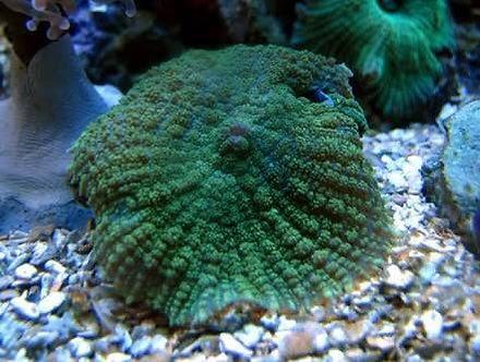 Mushoom Green Tonga