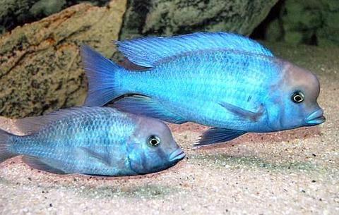Golfinho Blue (Cyrtocara Moorii) P