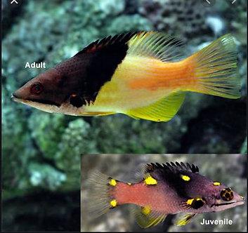 Hogfish Coral (Juvenile)