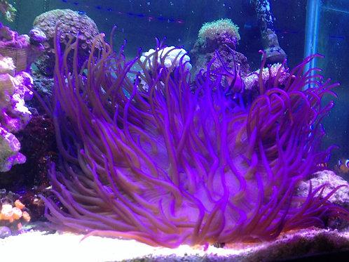 Anêmonas LT Purple